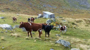 Kyrne samla til buforing frå Vassdalen i Jostedalen